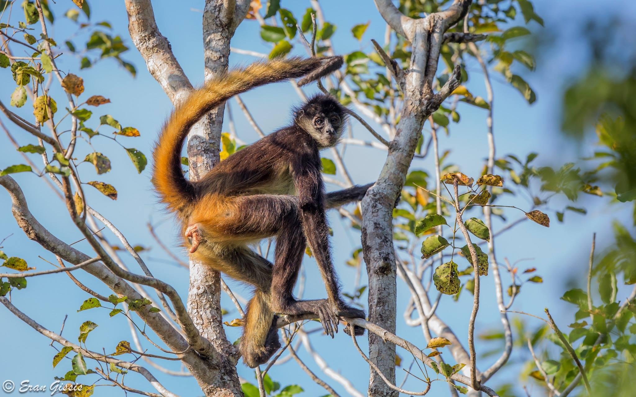 Spider Monkey Program
