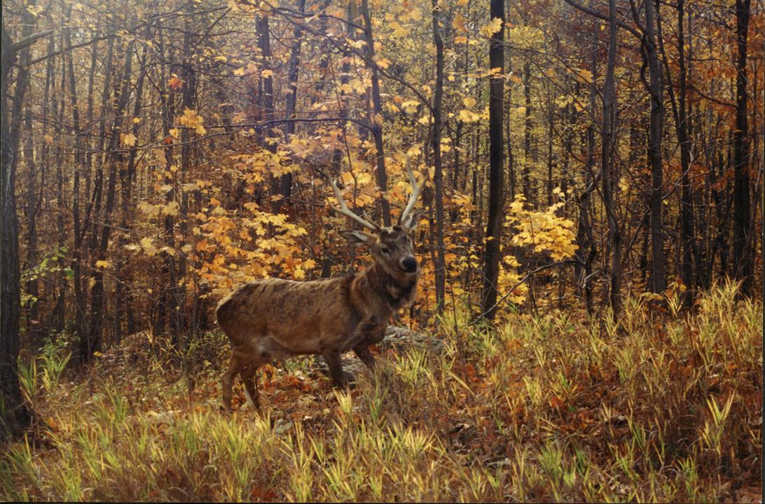 Animatronic deer in the woods