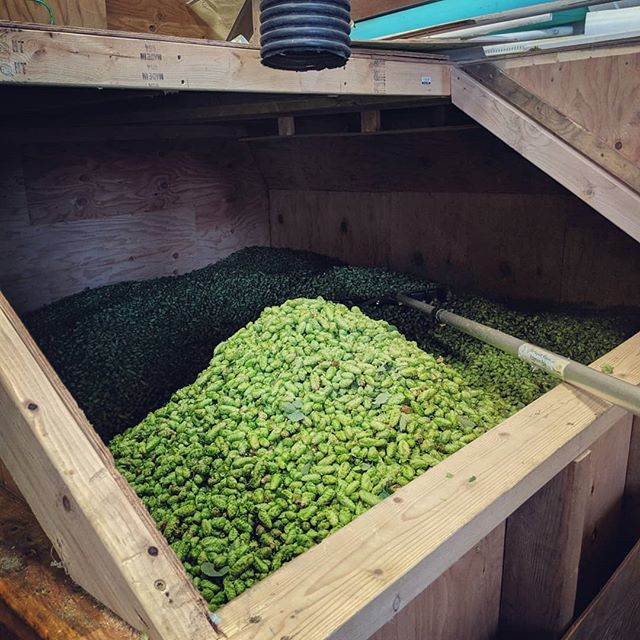 Full day of Cascade. One day left! Come on out Saturday if you want to see the harvest in action. #hops #hopfarm #hopfarming #hopharvest #harvest19 #iowahops #iowabeer #iabeer #iahops #sodakbeer #cascade #hopster5p