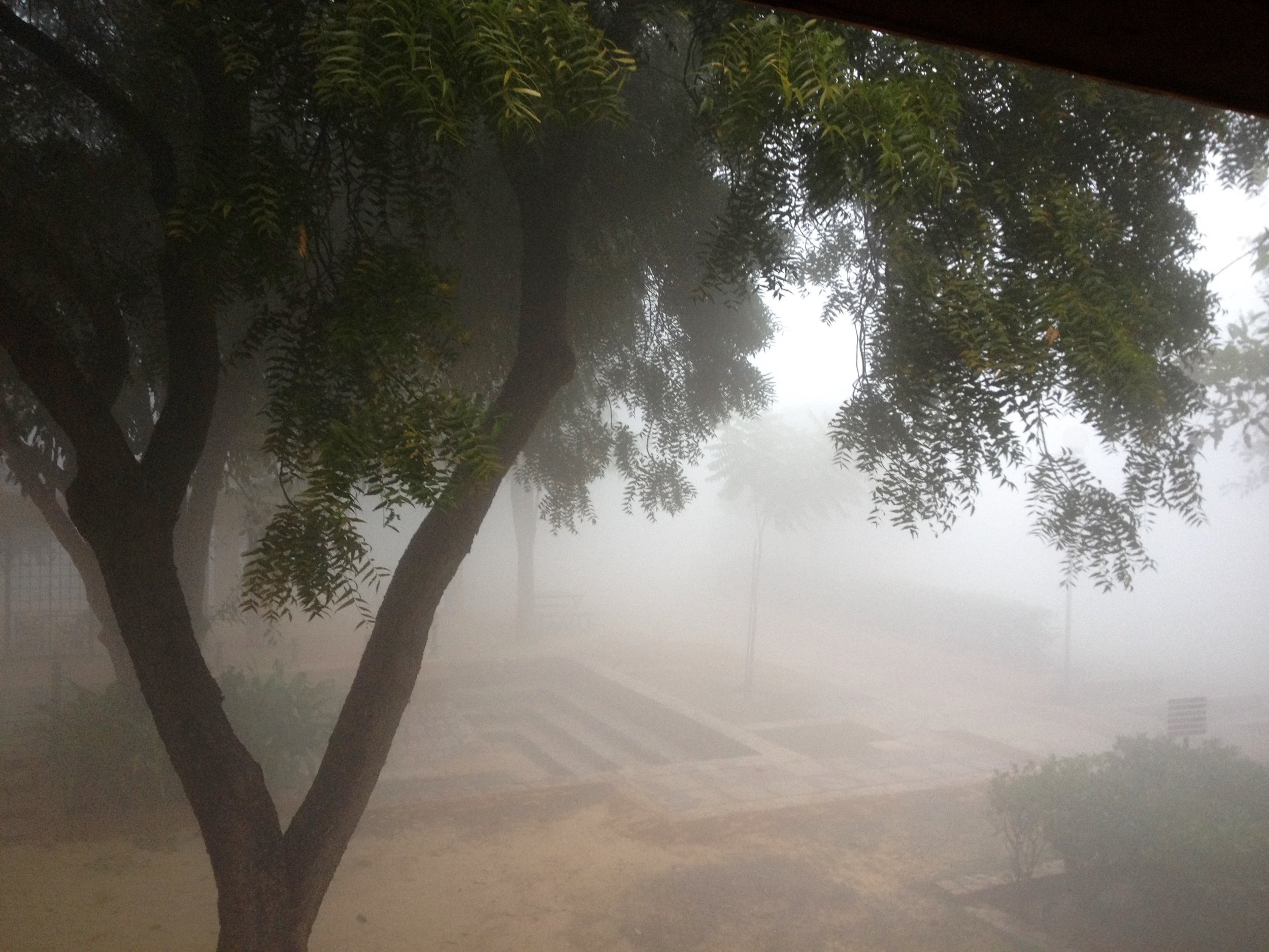 View from my bedroom window: the grounds of the Sanskrit Kendra in the early morning smog with a Silky Leaf tree in the foreground.