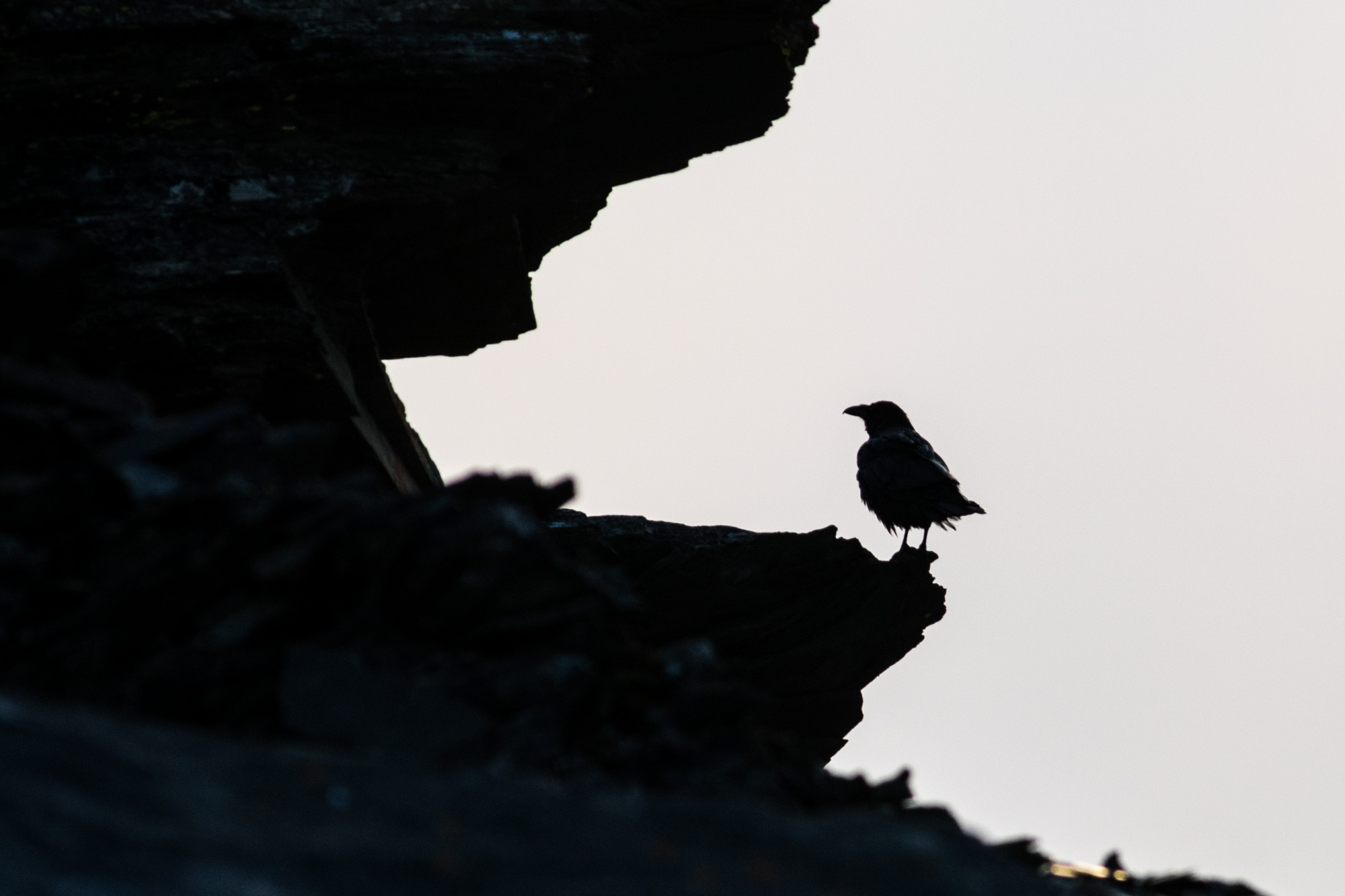 A common crow exploring on the summit of Whistlers Peak in Jasper National Park.