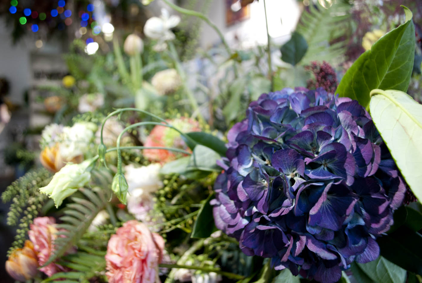 Hydrangeas are at their best this time of year – just before Christmas