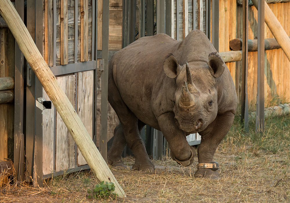 The black rhino mother cautiously leads her calf out of the boma after their adventure. Photo courtesy of Michael Fitt.