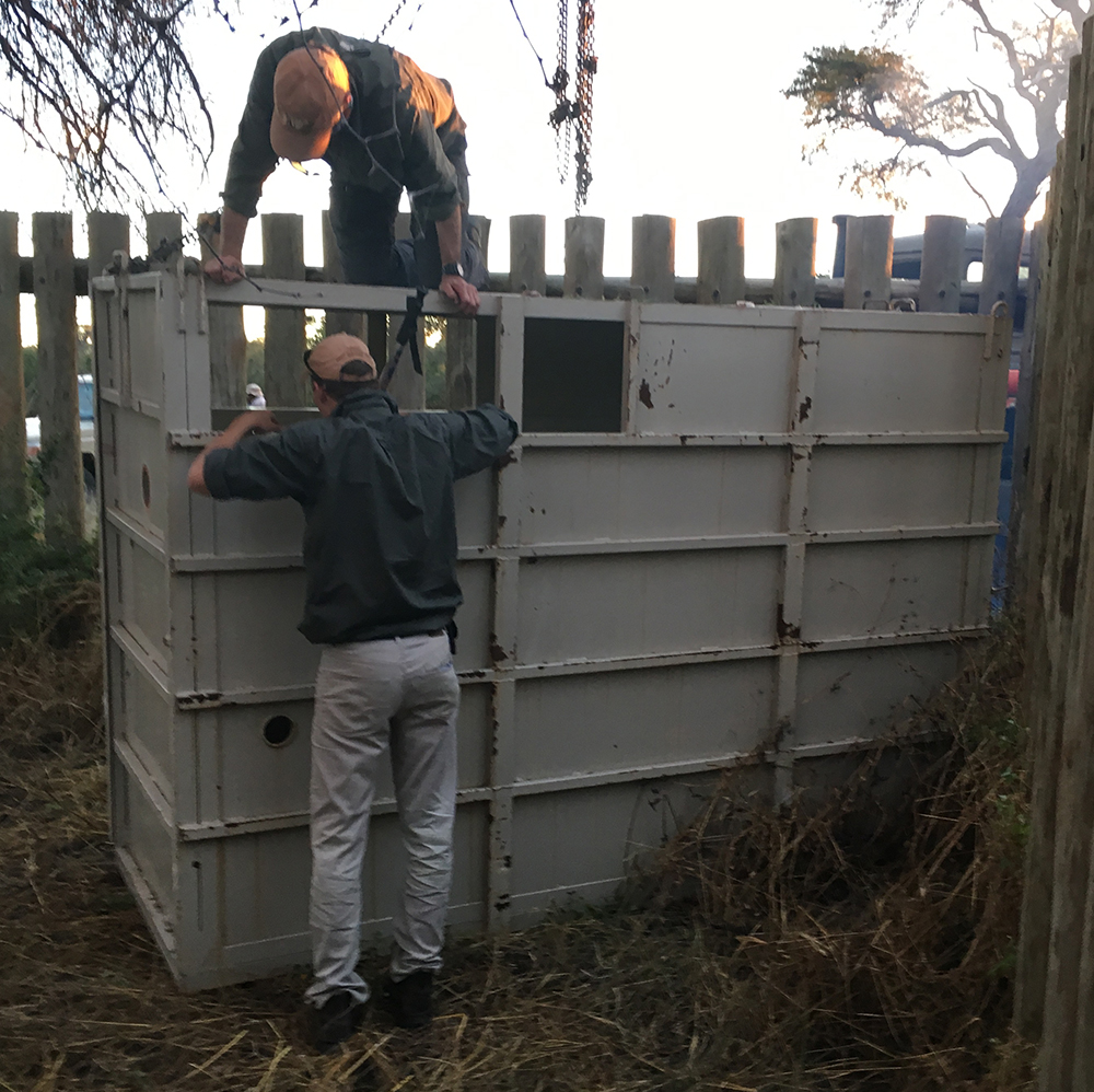 As the light fades, the rhino pair are introduced to their temporary new home.