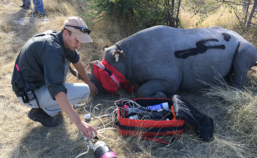 While the rhino is tranquilised,RCB's Kyle Burger checks her breathing and pulse and administers oxygen. Scratches acquired during capture are sprayed with antiseptic.