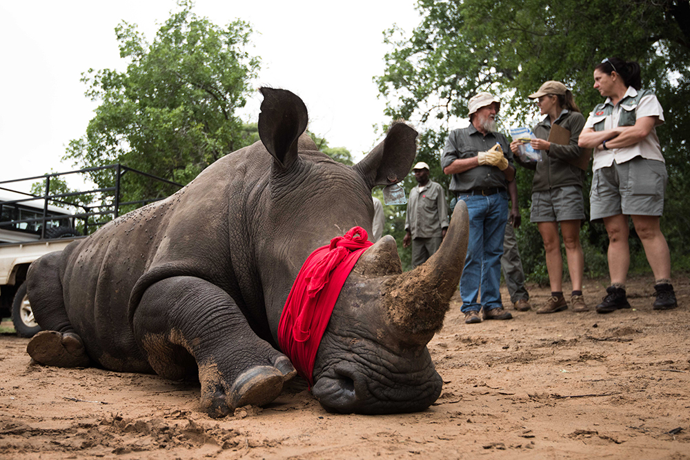 During a translocation, the rhino is tranquillised and its eyes are covered to keep them free from dust. Photo courtesy of Matt Copham