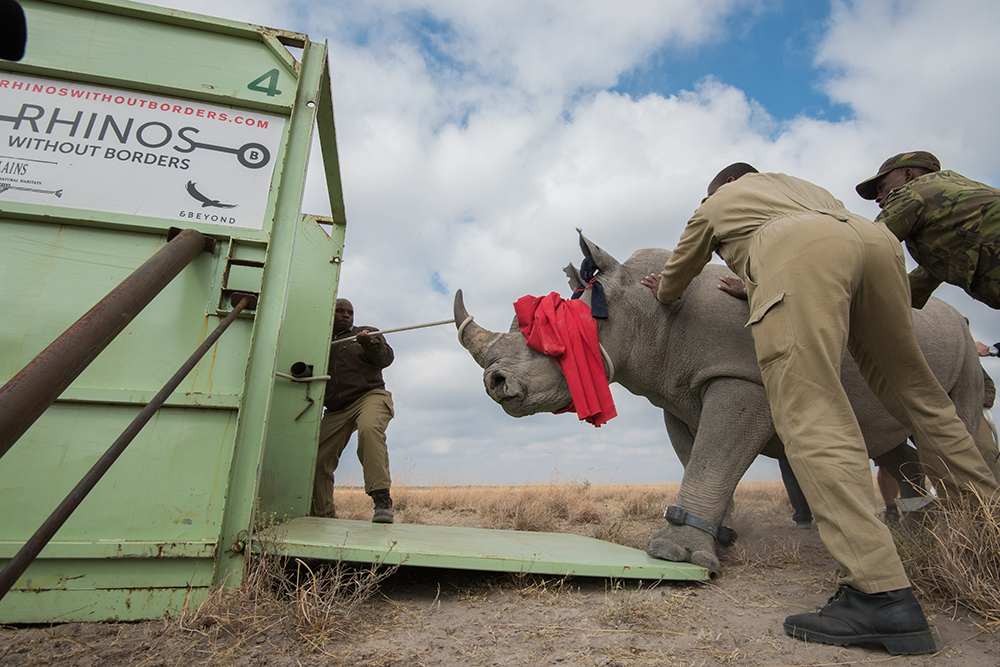 The rhino is coaxed into a transport truck for the next exciting stage of its journey. Photo courtesy of Matt Copham