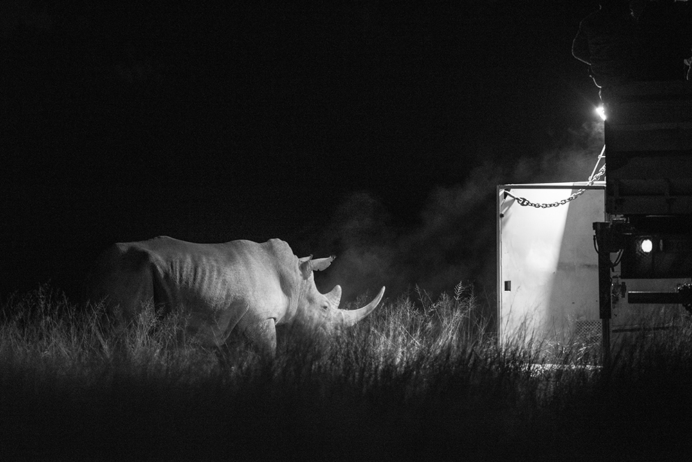 The rhino leaves its container for a new life in Botswana. Photo courtesy of Matt Copham