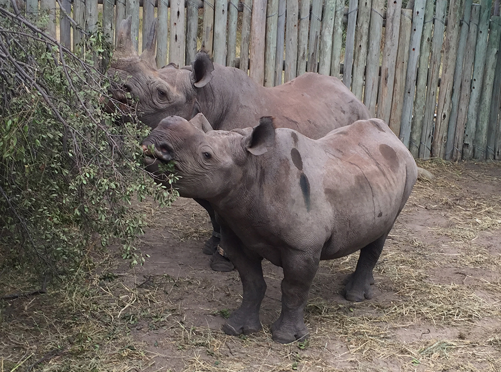 The rhino pair happily tuck into freshly cut browse and seem unperturbed by their adventure. Photo courtesy of Michael Fitt.