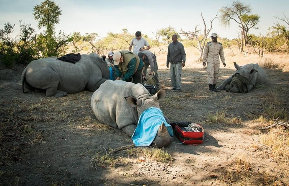 wild-rhino-tagging.jpg