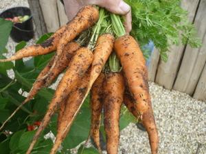 Bunch of organic carrots