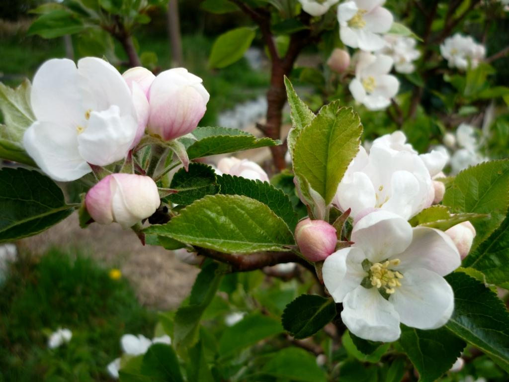 8apple blossom close up.jpg