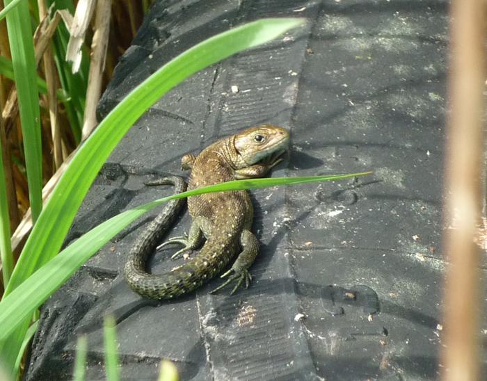 Common Lizard for web.jpg