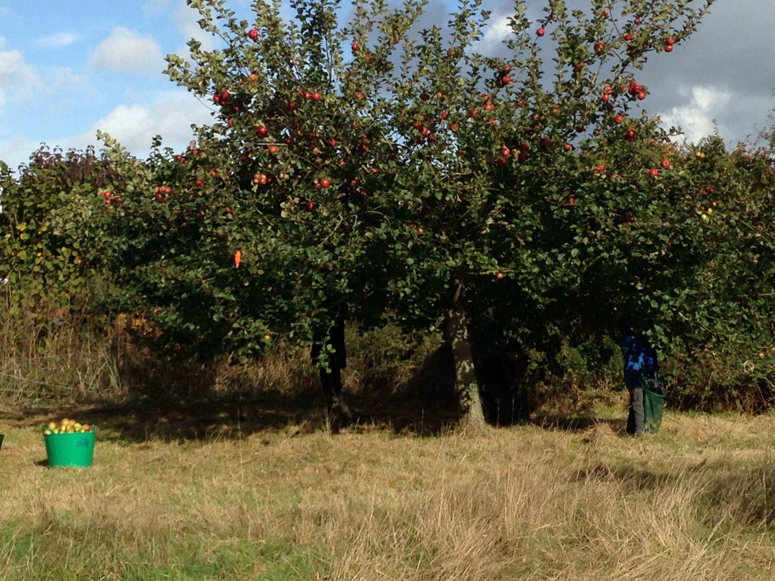 harvesting apples