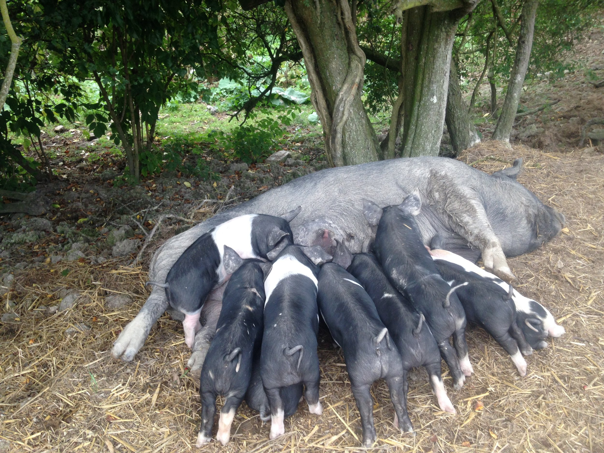 Rare breed pigs at Baulcombes Farm