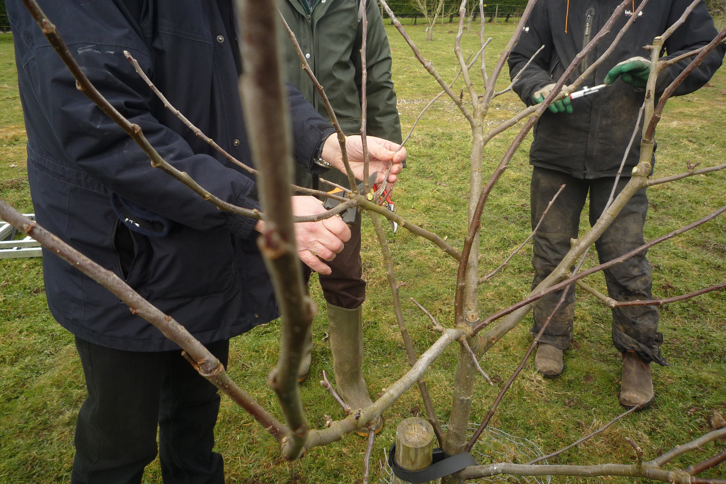 Pruning young apple trees
