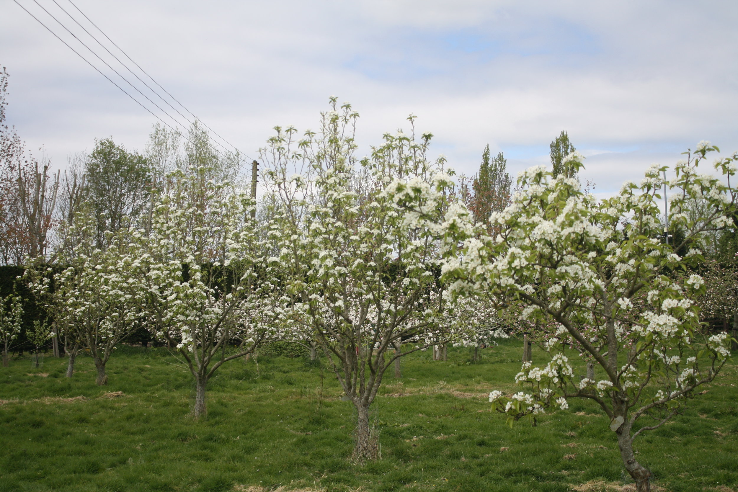 photo of pear trees in bloom,