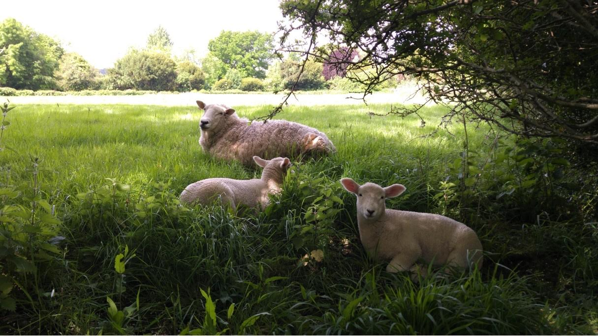 Ewe and lambs find cool shade to rest