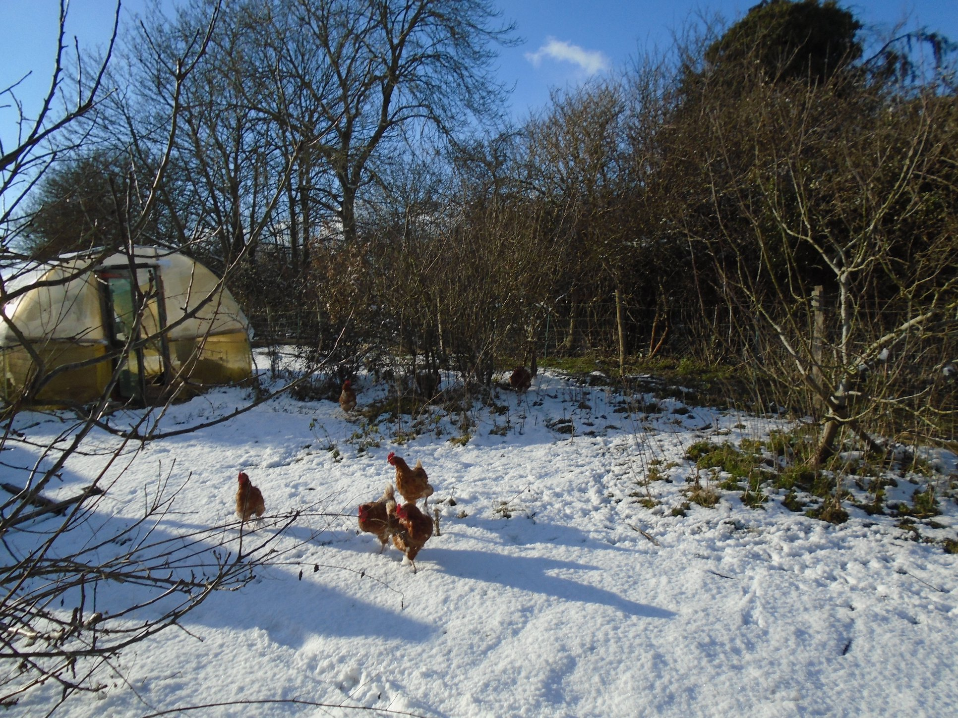 BB hens in the snow.jpg