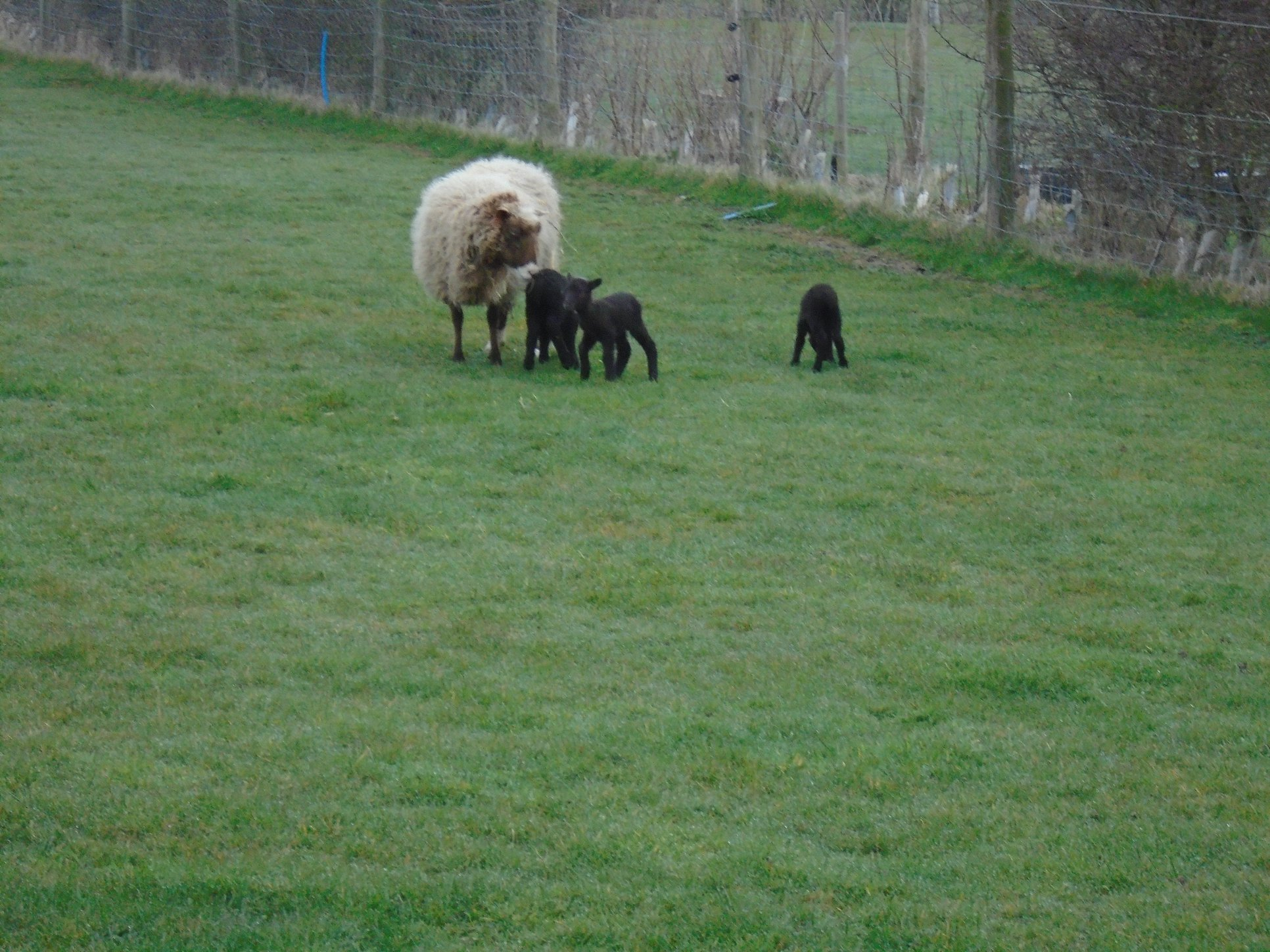 lambs BB mar 2018 owena.jpg