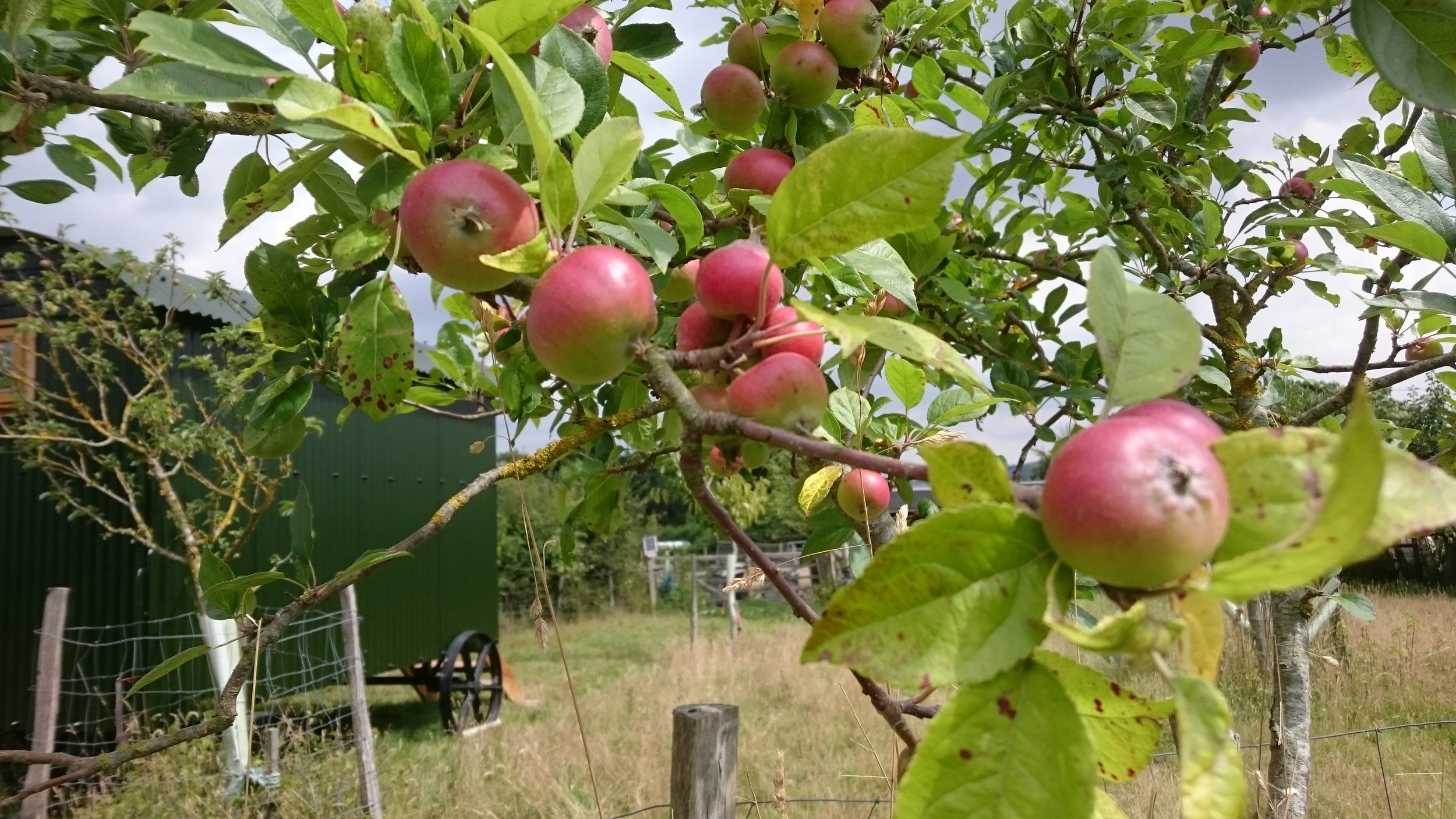 Apples growing well near the pigs
