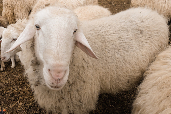 One of the many sheep the family had on their farm.
