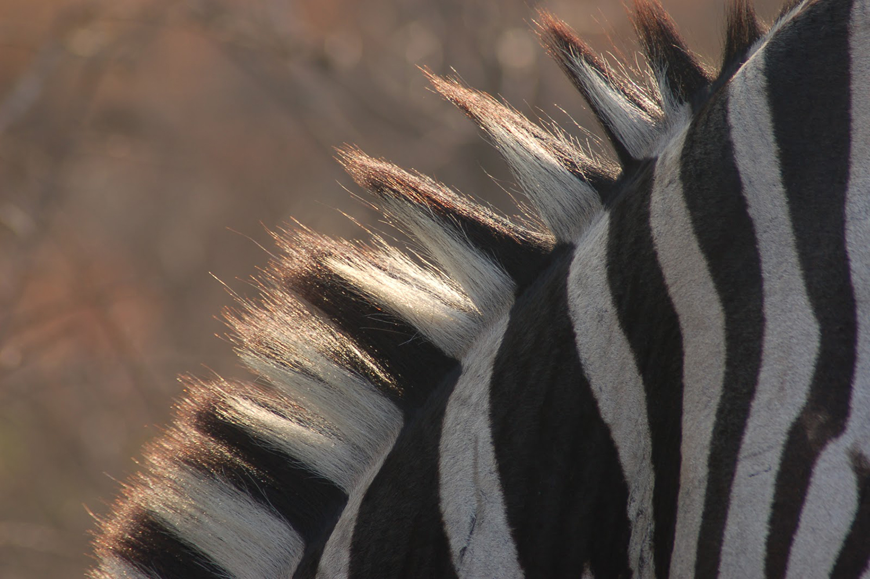 zebramaneweb.jpg