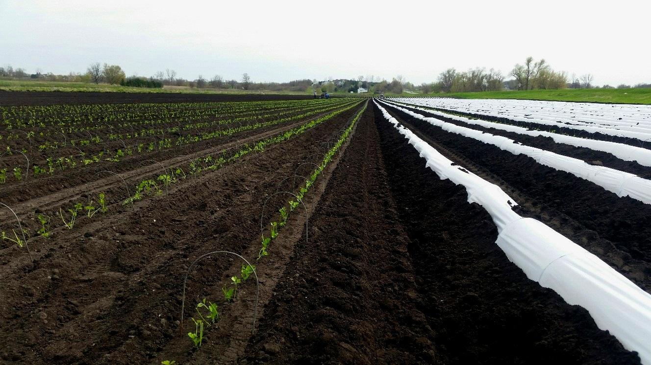 GFS- celery field.jpg