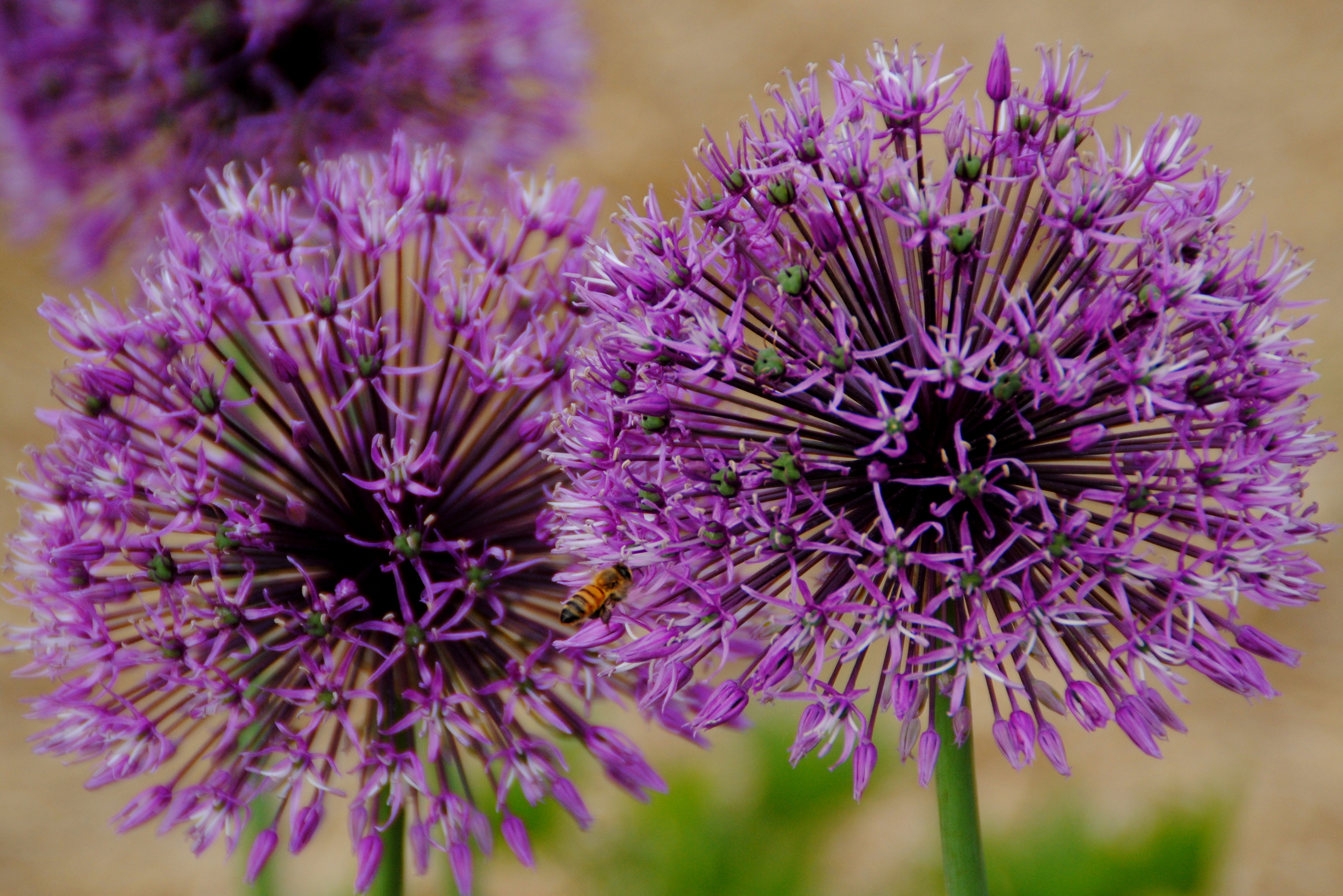 Floral_Allium Early Emperor 2.jpg