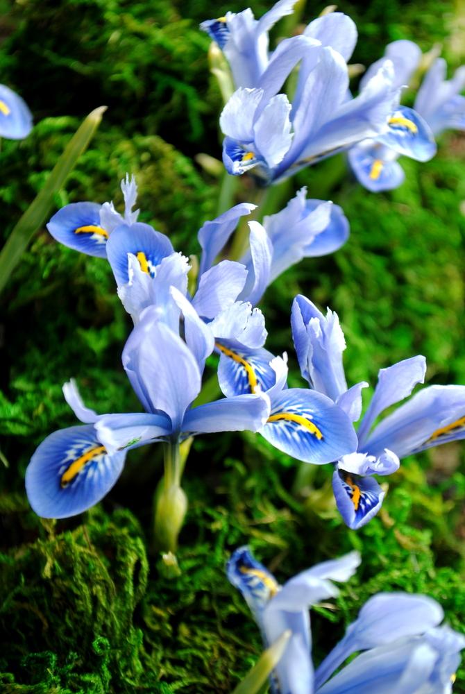 Iris reticulata (22).JPG