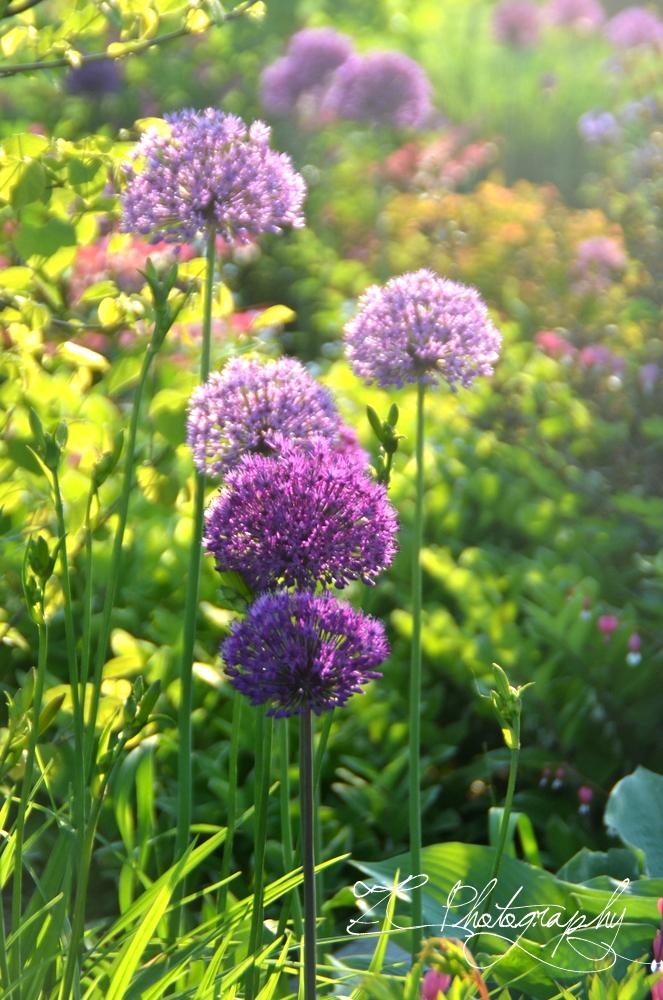 Allium-001.JPG