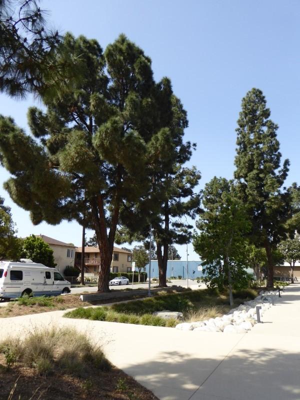 Pine trees retained + new rain garden