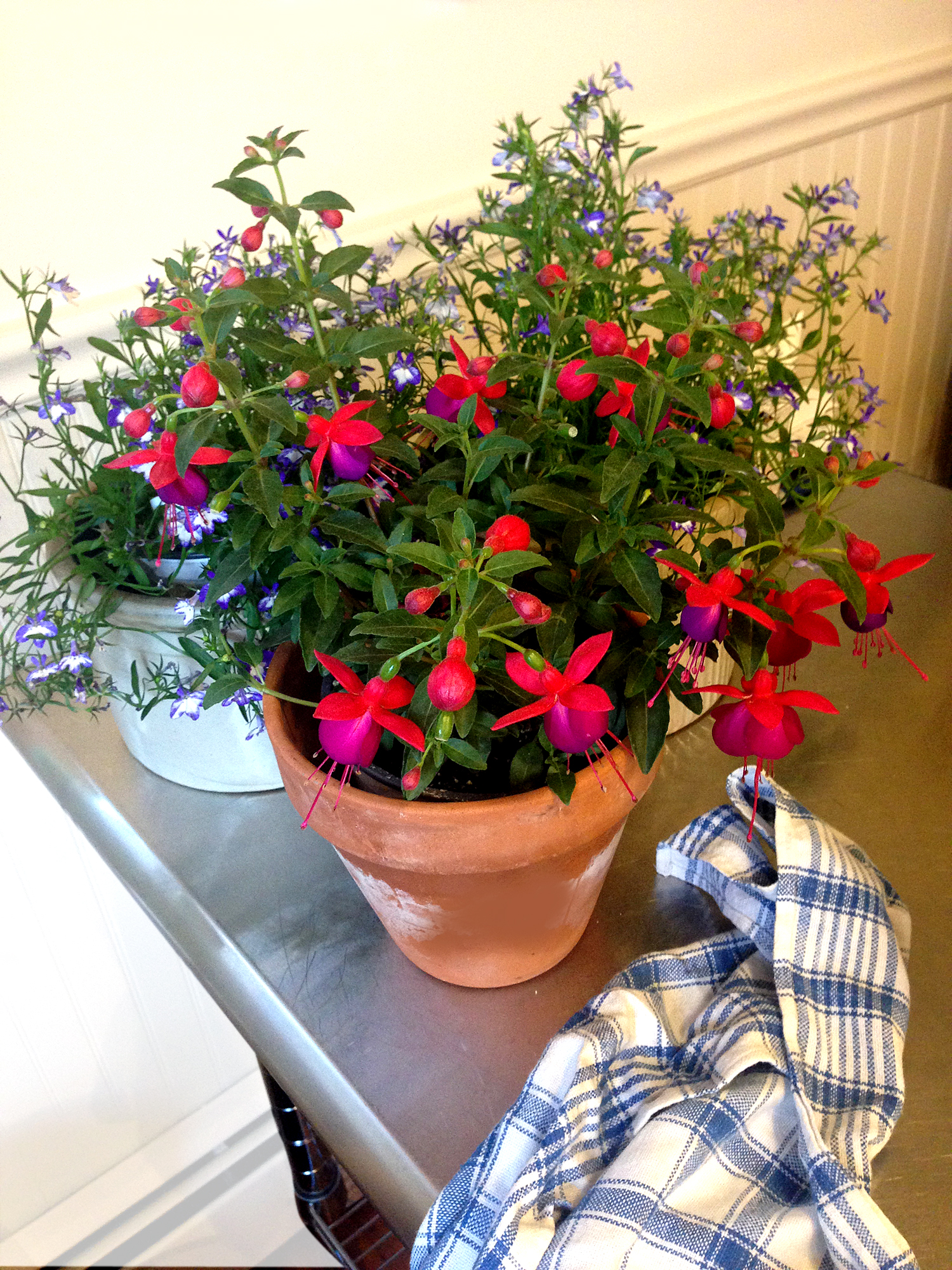 Pots of Fuchsia and Lobelia
