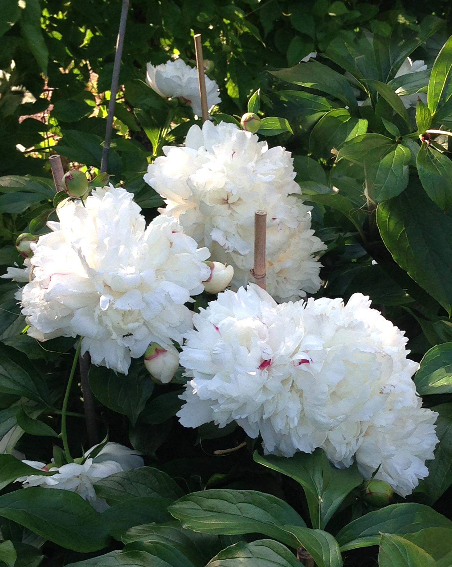 White Peonies in Garden