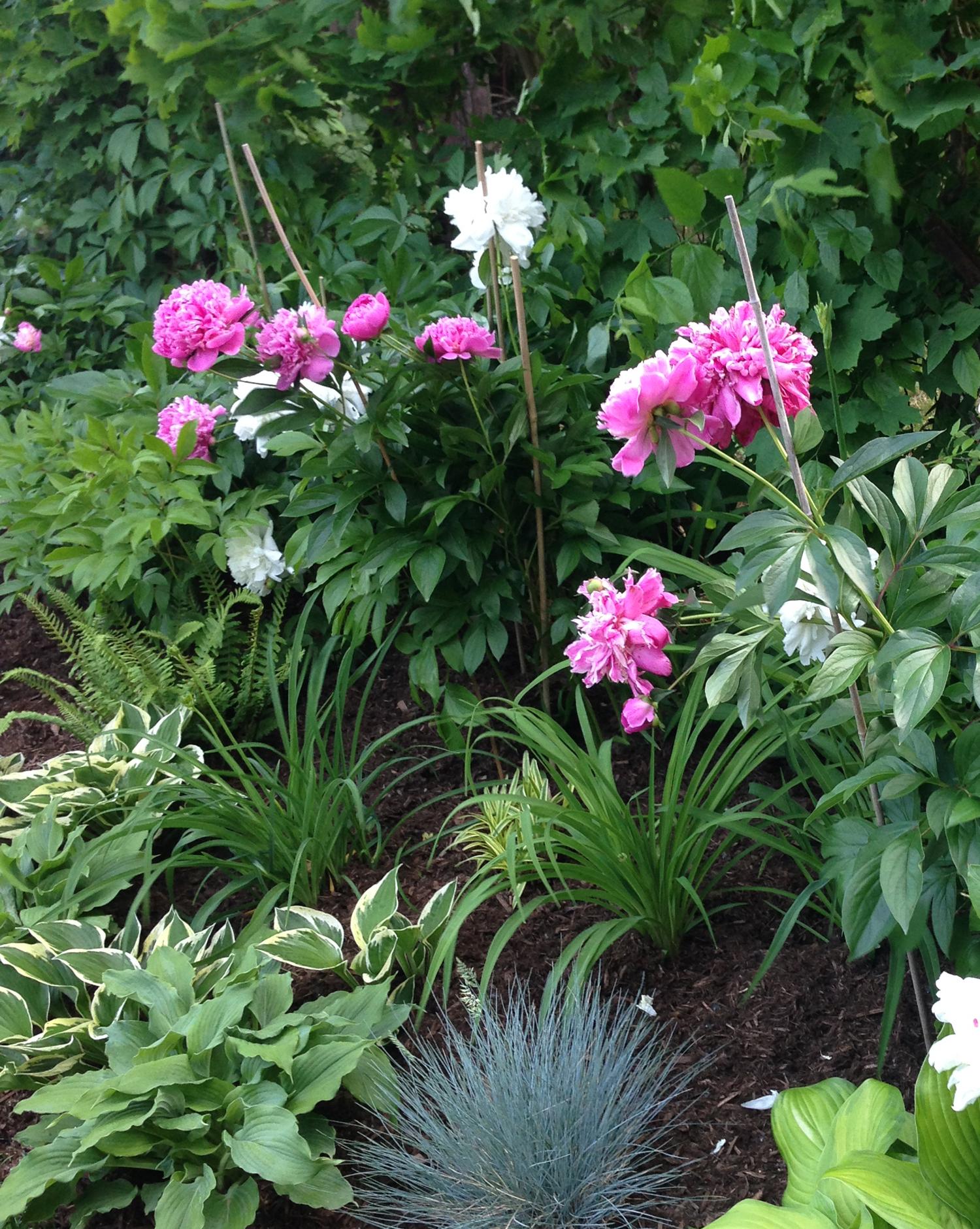 Peonies in Garden Beds