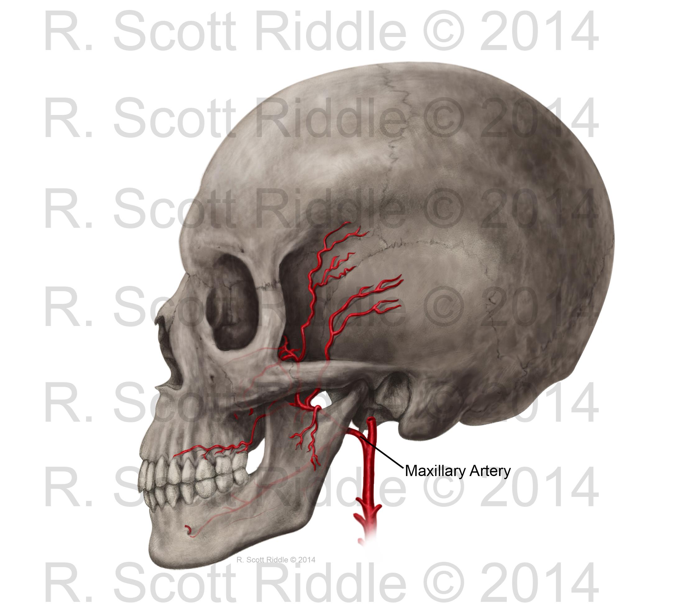 Lateral_SkullwMaxillaryArtery_RScottRiddle copy.jpg