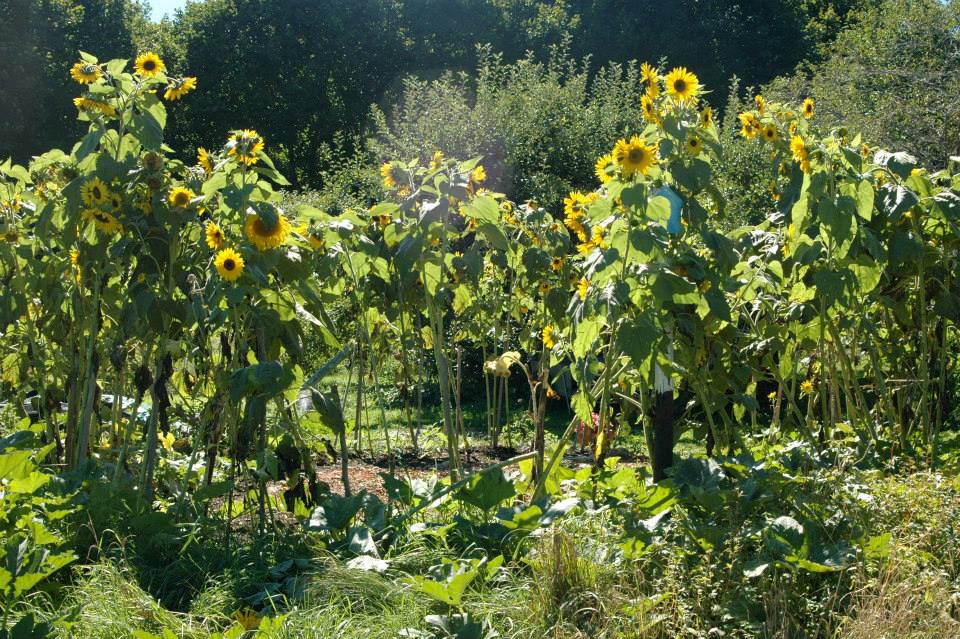 Sunflower Circle.jpg