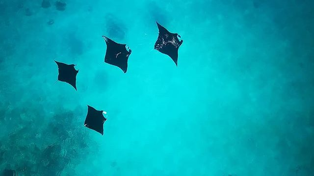 A foursome of manta rays glide through turquoise waters in Milne Bay, Papua New Guinea. We had a magical dive before breakfast with the rays as they came into cleaning stations but I opted to get airborne after breakfast while everyone else went back in the water. I knew the calm conditions wouldn't last long and was keen to see the mantas from above. Glad I made that decision. The wind came up towards the end of my 25 minute flight. We had a few more dives with the manta rays but never calm air & flat seas again.  #wildearthvisions, #womenwhodrone, #droneoftheday, #dronephotography, #bbcearth, #djiglobal, #wildlifephotography