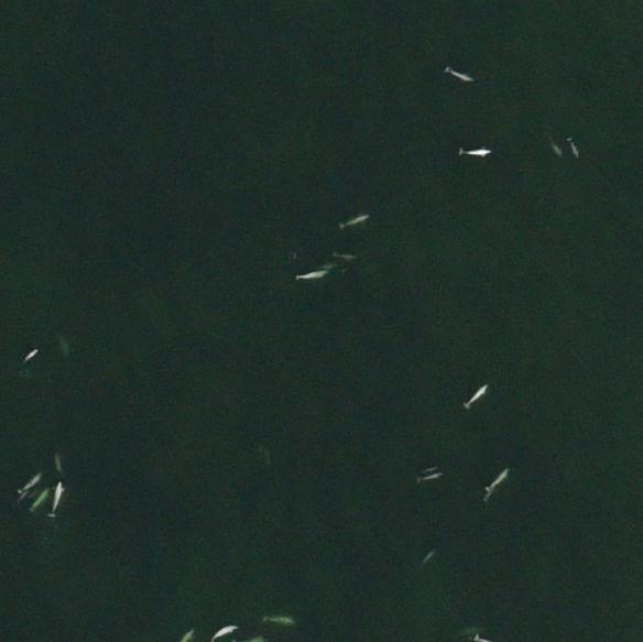 Beluga aerial survey.jpg