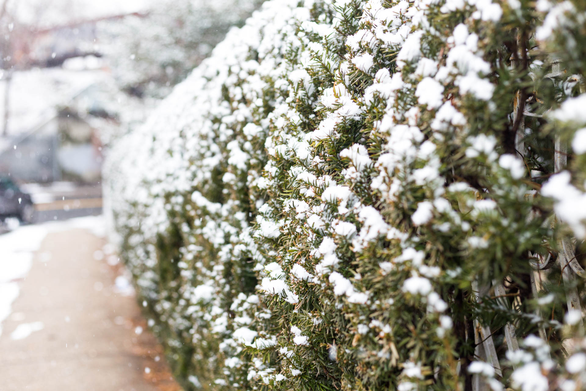 Similarly here, I wanted a little more nature focus and less gritty city, so I got in close to this hedge to make this image of snow covered needles.