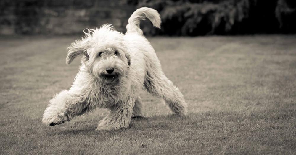 Sama-Dog-Intention-Dog