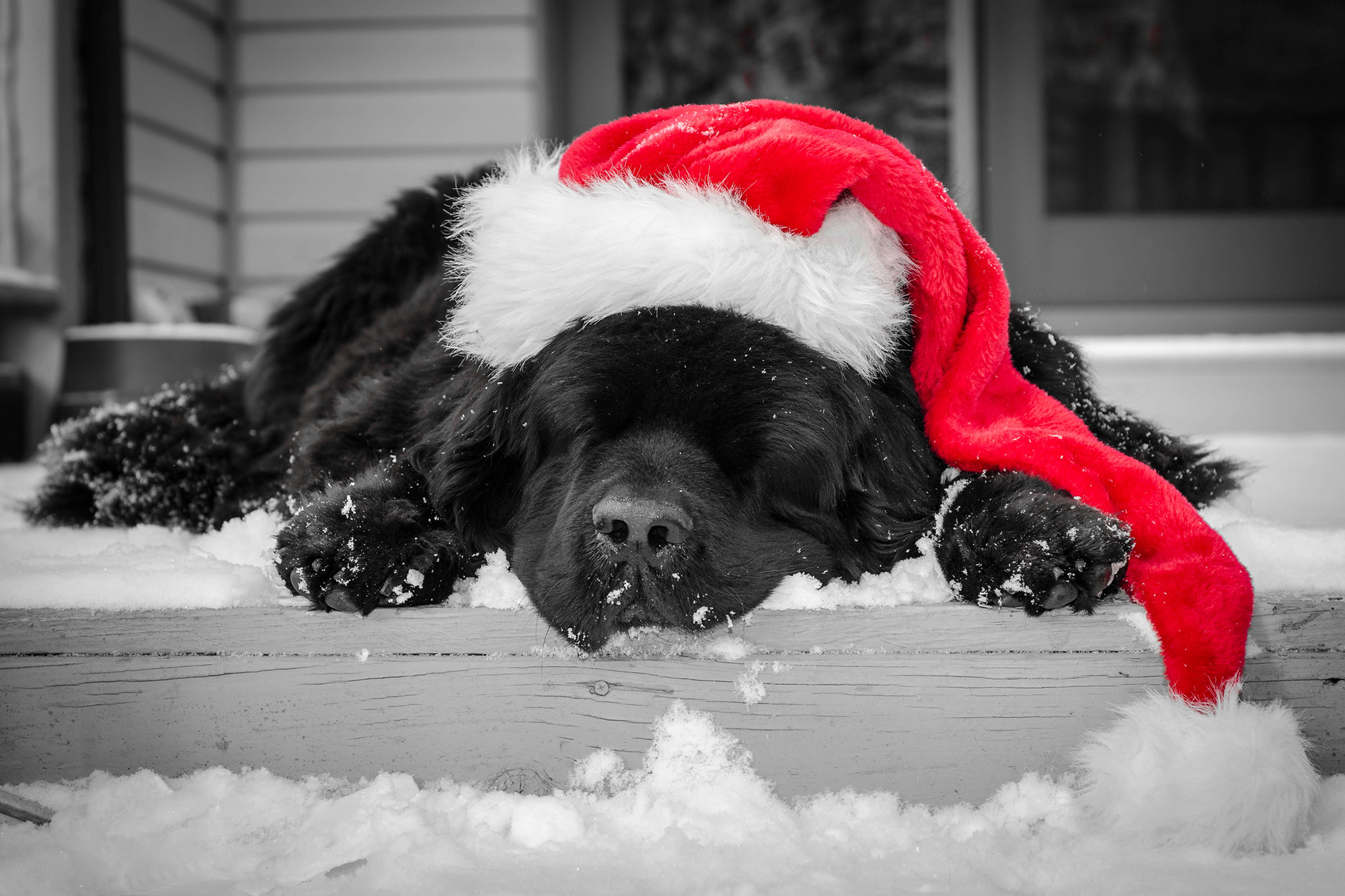 Sama-Dog-Holiday-Dog