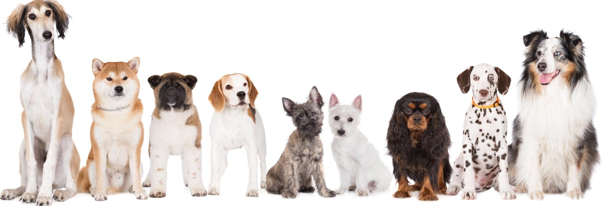 Sama_Dog_Dosha Dogs