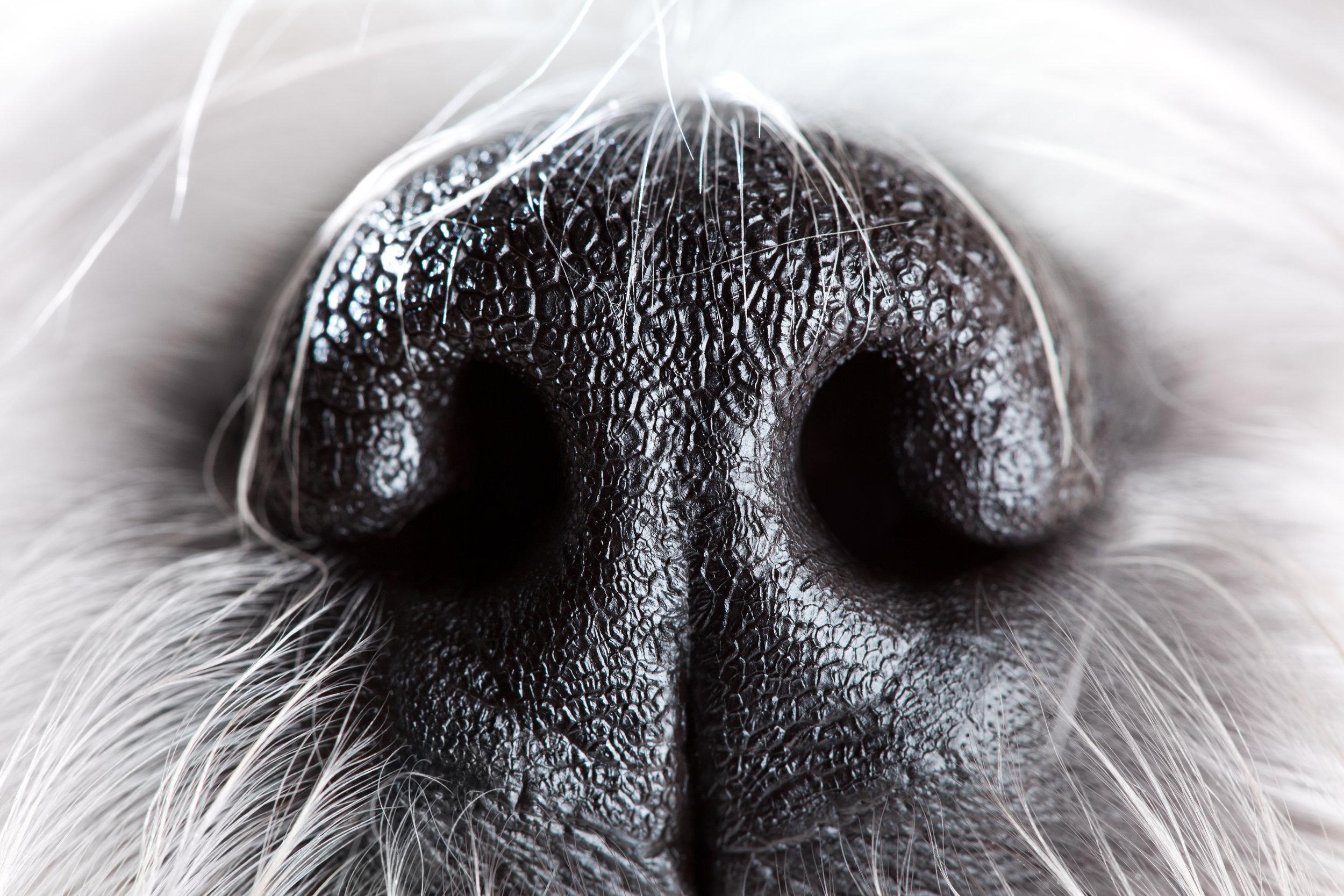 Sama Dog Smell Blog.jpg