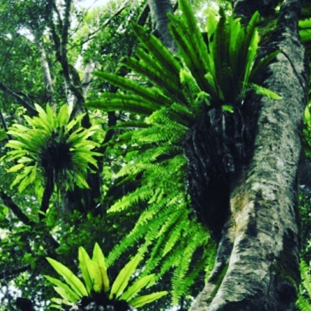 Spotlight on natives around Byron Bay. 🌿Birdnest fern 🌿They can grow on the ground or be attached to trees or rocks. Grows best in medium to low indirect light.  They make fantastic features for trees, habitat for frogs, lizards and other reptiles. Birdnest fern look great at night with garden lighting.