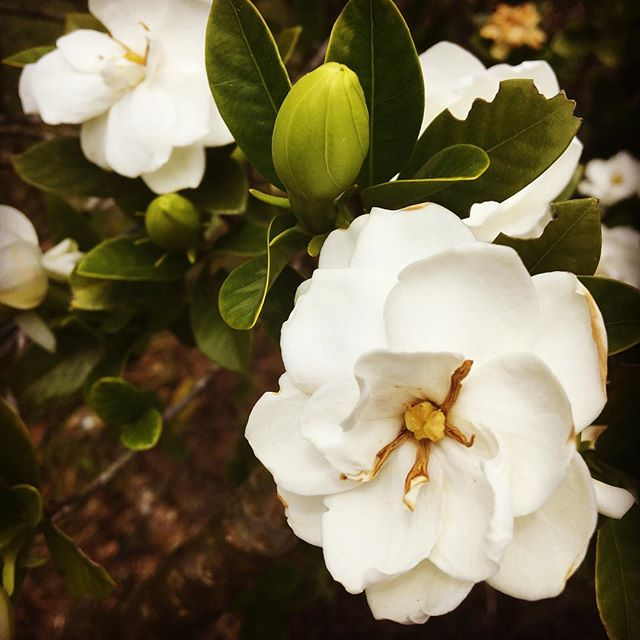 The smell of gardenias is devine...