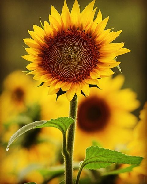 Did you know that sunflowers follow the sun as it rises in the East until it sets in the West. This is called heliotropism, the movement of plant parts (flowers or leaves) in response to the direction of the sun. Planting some sunflowers seeds in your garden soil is so easy, a great eye catcher, nice to use as cut flowers indoors and so fun for the kids 🌞🐝