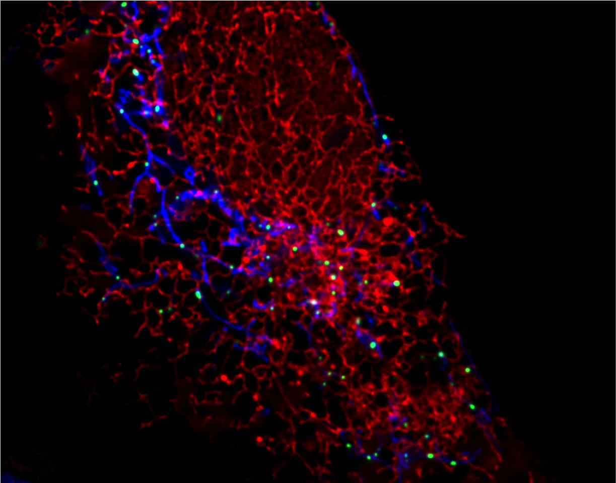 Single confocal plane showing Mitochondria (blue), Endoplasmic reticulum (red) and replicating mtDNA nucleoids (green) in a live human U2OS cell.