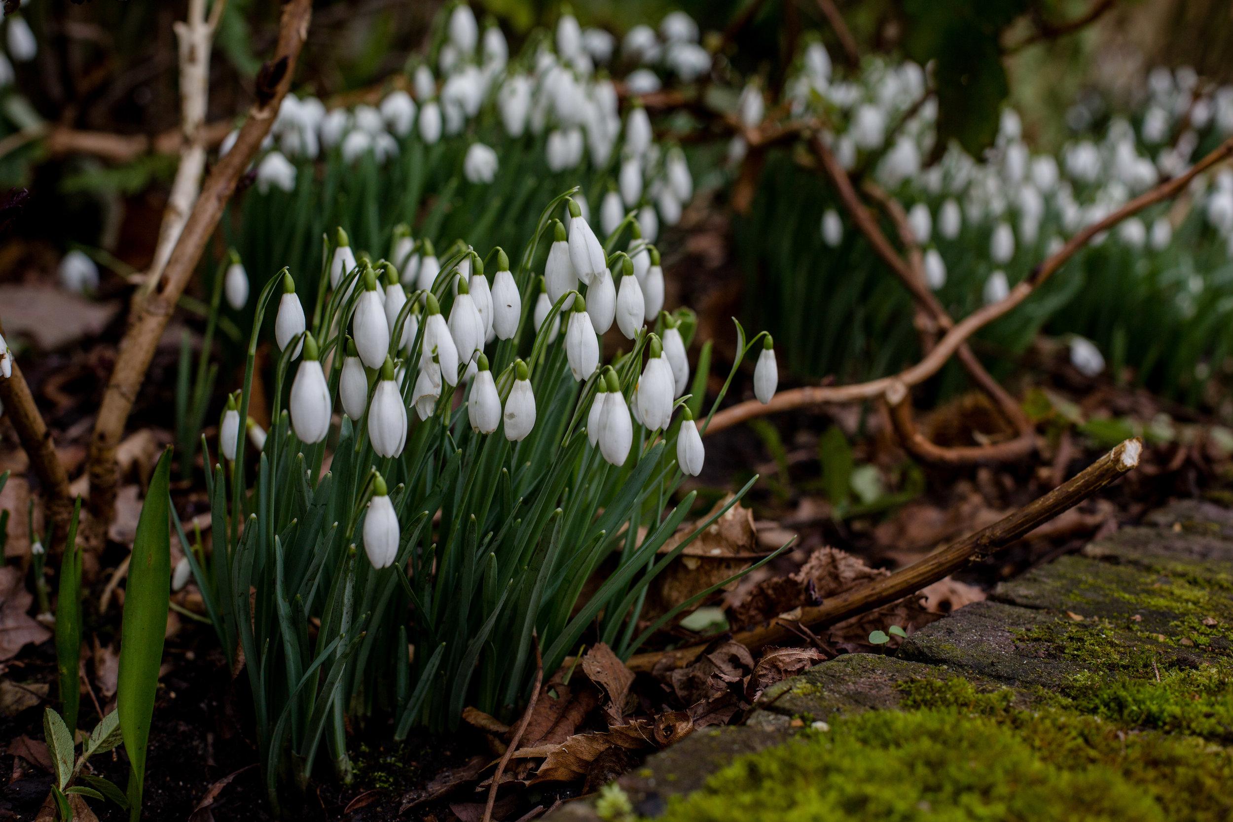 snowdrops spring pergola hill garden dianavonr hampsteadmums