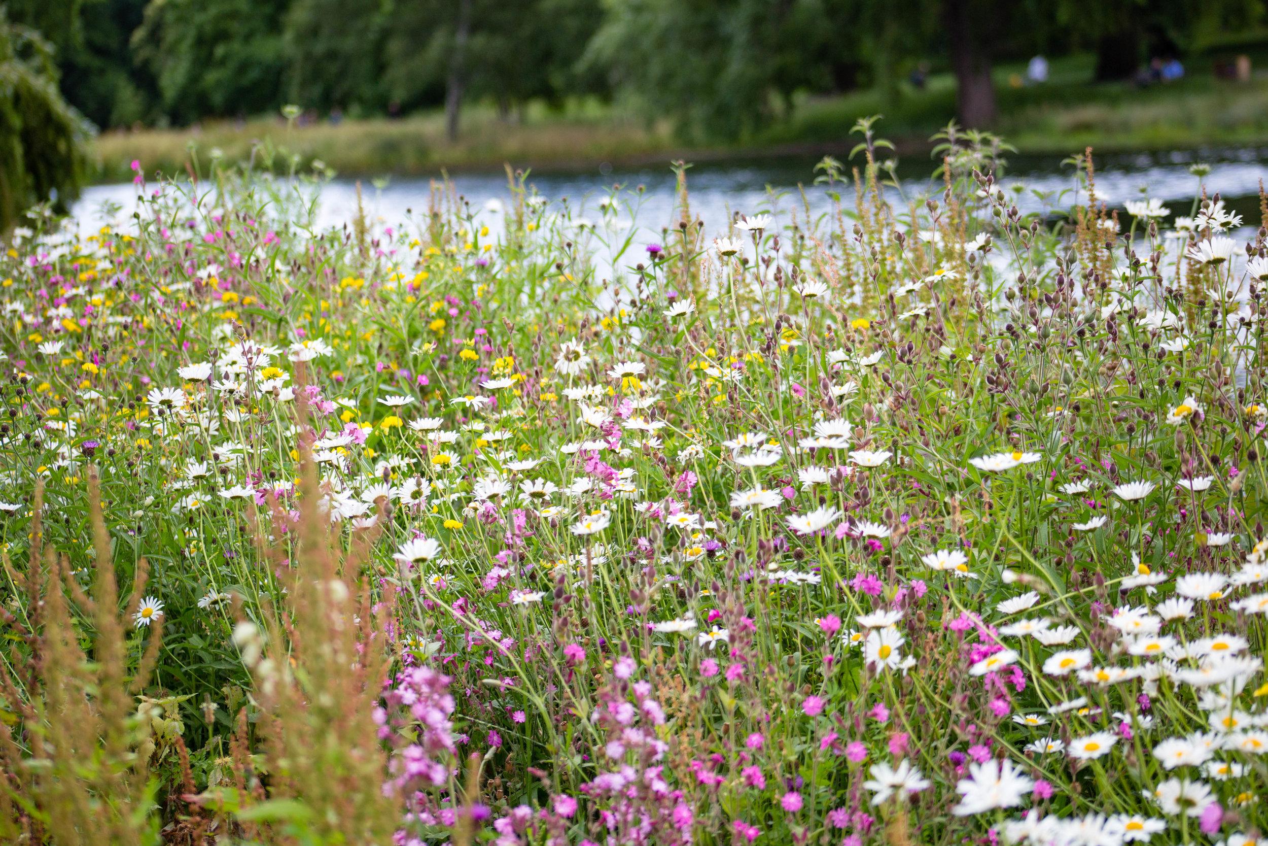Wild flowers in St James Park